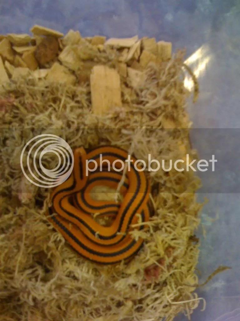 NW England CB Thai Bamboo Rat & Thai Broad Banded Rat ...