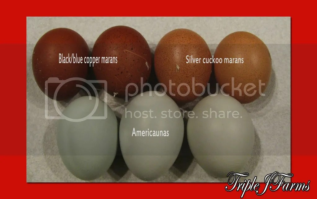 Cuckoo Maran Egg Color Chart