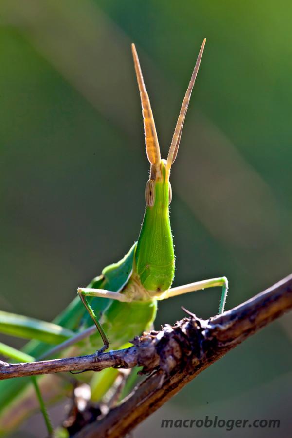Acride (acrida bicolor)