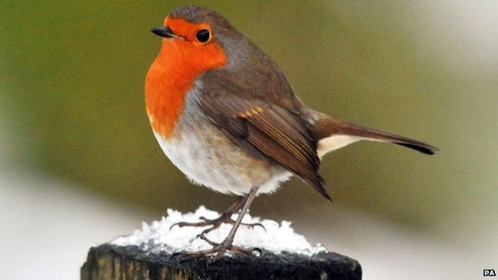 Robin tops poll to find UK's 'national bird' - BBC News