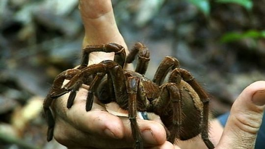 Goliath bird eating spider   Spiders and Reptiles goliath bird eater