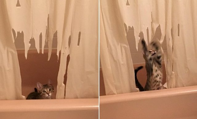 Cat Gets Caught In The Act Destroying The Shower Curtain