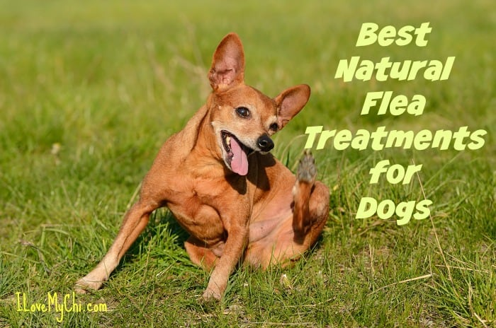 Herbal Treatments Dogs Flea