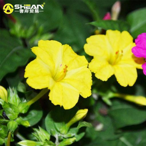 2018  Bag Yellow Jasmine Seeds Fragrant Plant Mirabilis Flower Seeds     1