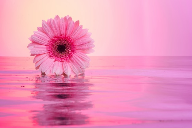 Gerbera flowers Photo   Free Download gerbera flowers Free Photo