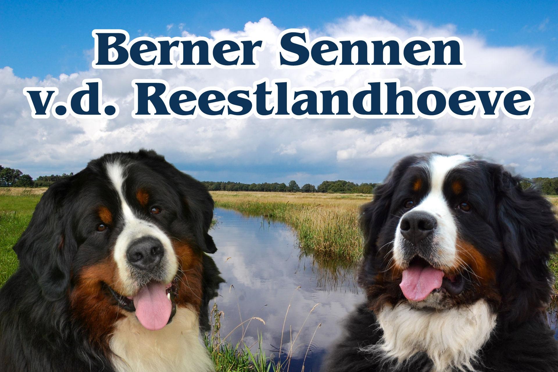 Berner Sennen Honden V D Reestlandhoeve Berner Sennen