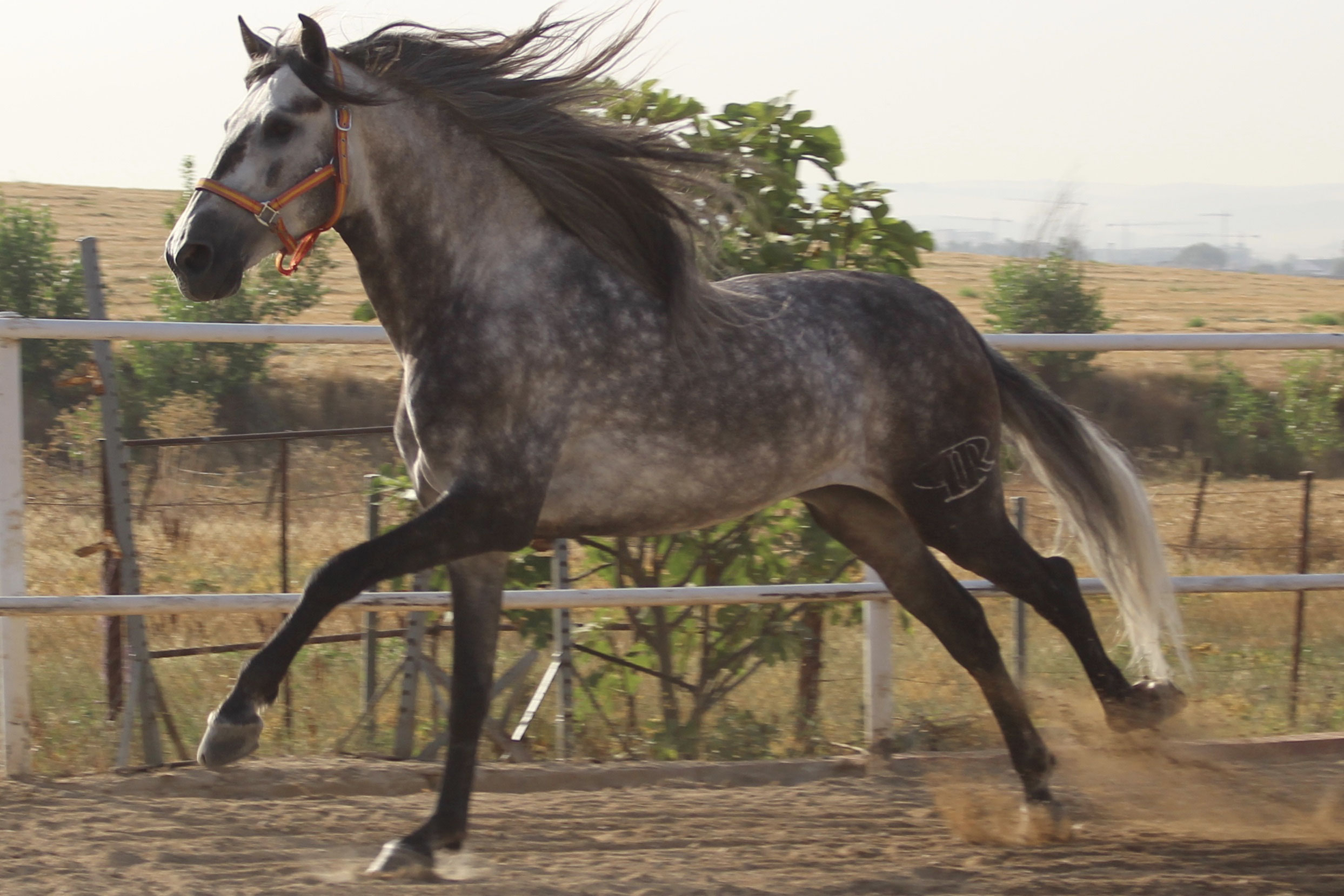 Gitano Andalusische Pferde Andalusier Kaufen Und