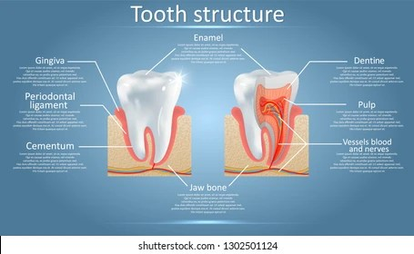 Dentin Images Stock Photos Amp Vectors Shutterstock