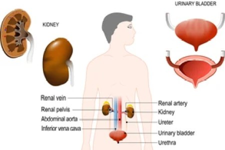 Interior Urinary System Full Hd Maps Locations Another World
