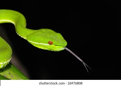 Snake Tongue Images, Stock Photos & Vectors | Shutterstock