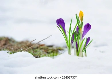 Snow flowers Images  Stock Photos   Vectors   Shutterstock Delicate crocus flowers in the snow