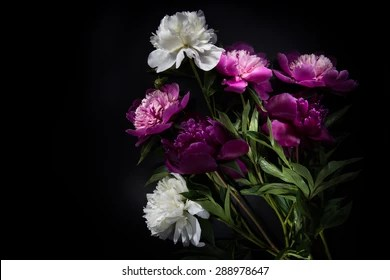 Flowers On Black Background Images  Stock Photos   Vectors  10  Off     Flowers on black background   colorful peonies flowers