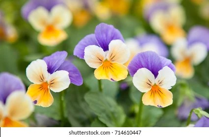 Pansies Images  Stock Photos   Vectors   Shutterstock The garden pansy is a type of large flowered hybrid plant cultivated as a  garden