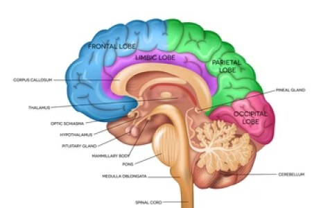 Interior anatomy of the brain anatomy full hd maps locations parts of the brain quiz proprofs quiz where is the parietal lobe located internal anatomy earthworm lateral visual dictionary internal anatomy earthworm ccuart Image collections