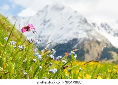 Mountain Flowers Images  Stock Photos   Vectors  10  Off    Shutterstock Mountain flower meadow in springtime