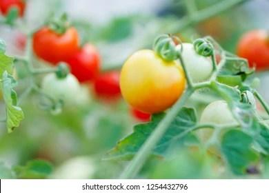 sweet pea currant # 55