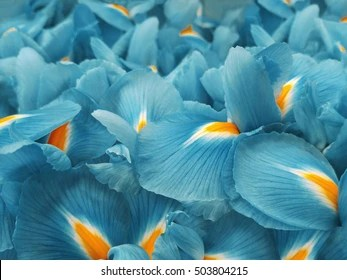 Turquoise Flower Images  Stock Photos   Vectors  10  Off    Shutterstock turquoise iris flowers  Garden flowers  Closeup  Nature  For designers  for  background