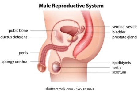 Interior internal genitalia of the male full hd maps locations male reproductive system anatomy penis erection prostate scrotum youtube the male reproductive system boundless anatomy and physiology this diagram of ccuart Image collections