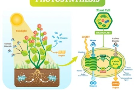 Photosynthesis cycle in hindi path decorations pictures full cycle hatch slack cycle light independent reactions of photosynthesis cycle occurs in the stroma photosynthesis in hindi photosynthesis in higher plants ccuart Choice Image