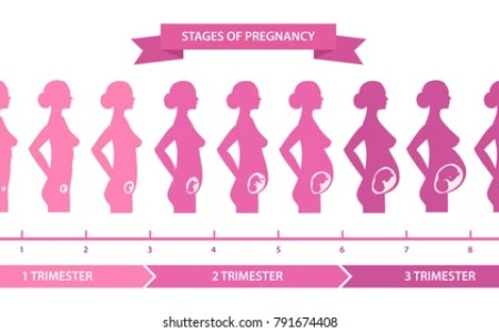 Stages Of Flower Growth Stages Of Pregnancy Stages Of Pregnancy
