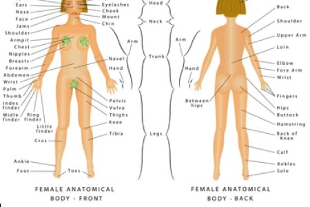 Interior female body diagram electronic wallpaper electronic human body parts list female anatomy diagram tenderness co internal female anatomy female reproductive organs labeled anatomy human body inside the heart of ccuart Gallery