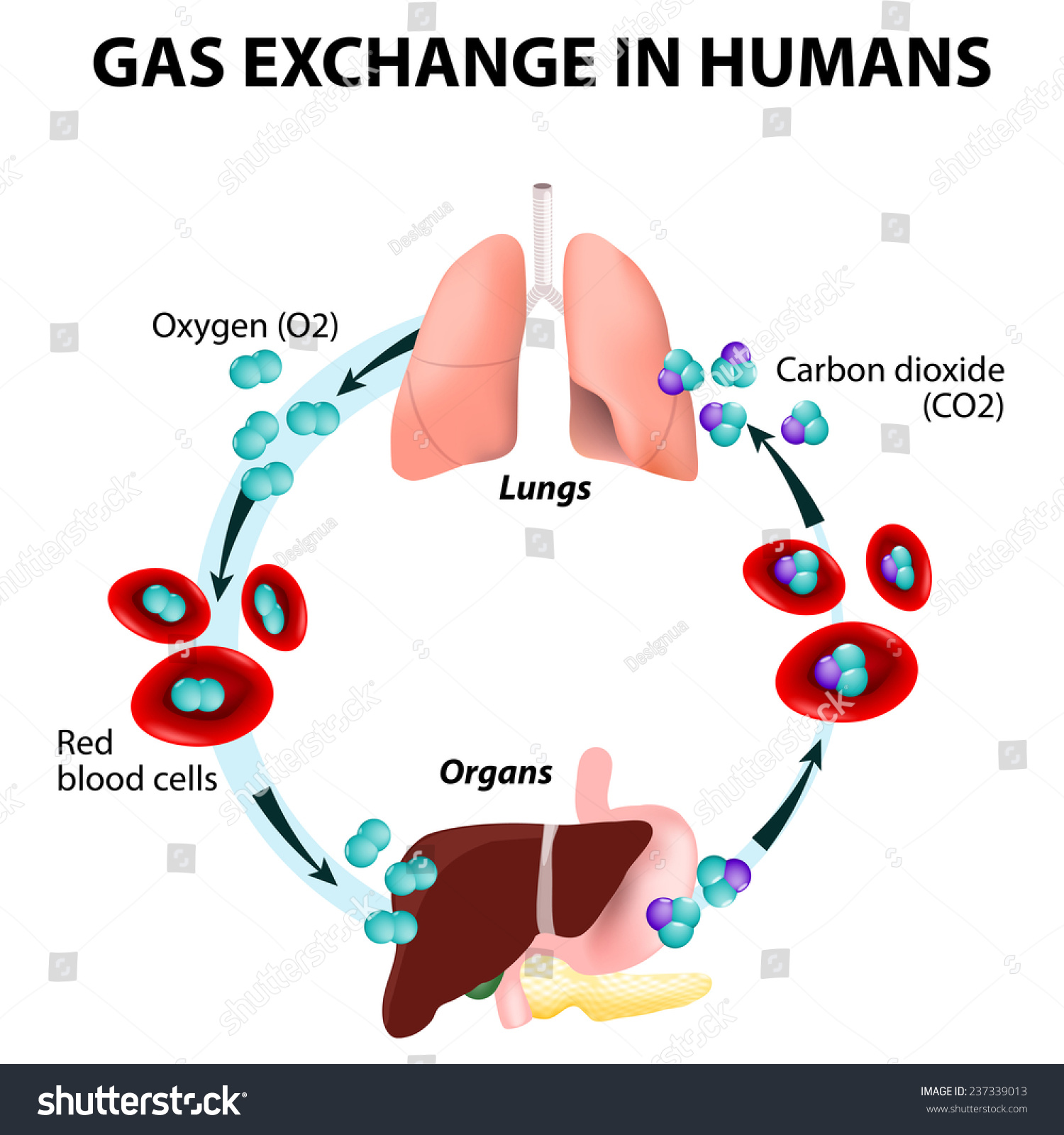 Gas Exchange Humans Path Red Blood Stock Illustration ...