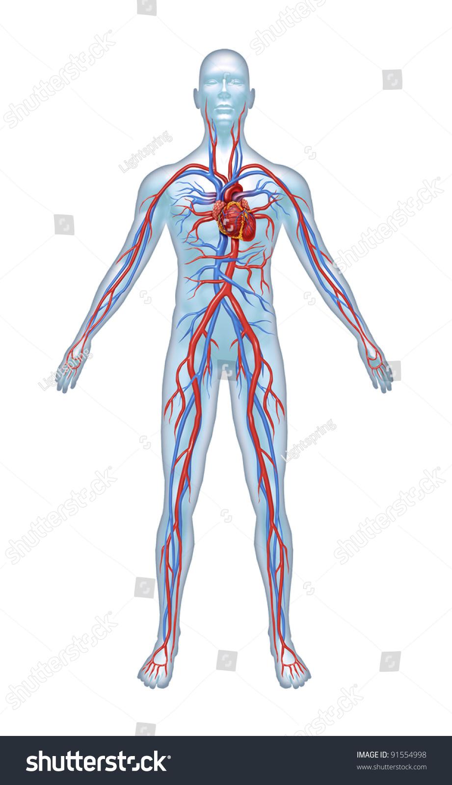 Cardiac Vein Anatomy Diagram