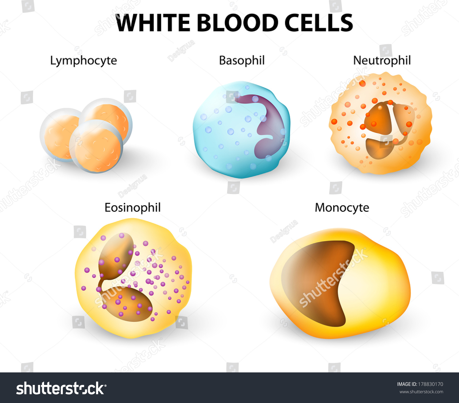 Platelets Red Blood Cell Diagram And White Of Cells