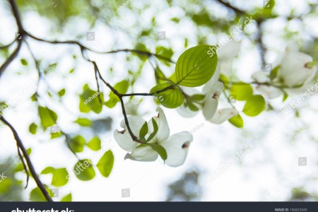 Flower shop near me flowering dogwood tree facts flower shop flowering dogwood tree facts the flowers are very beautiful here we provide a collections of various pictures of beautiful flowers charming mightylinksfo