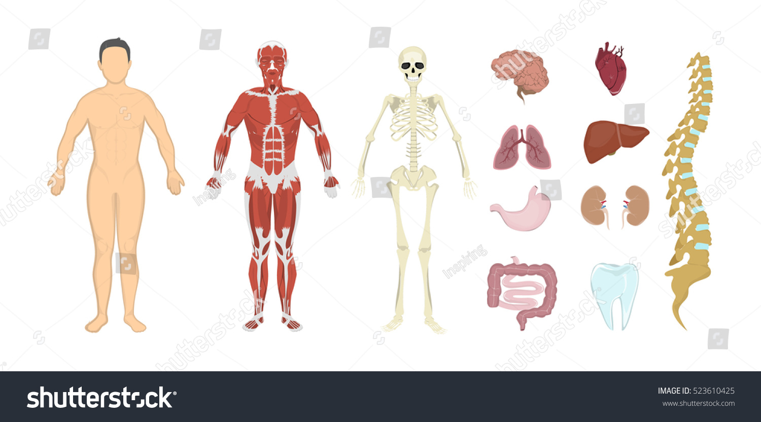 Whole Human Lymphatic System