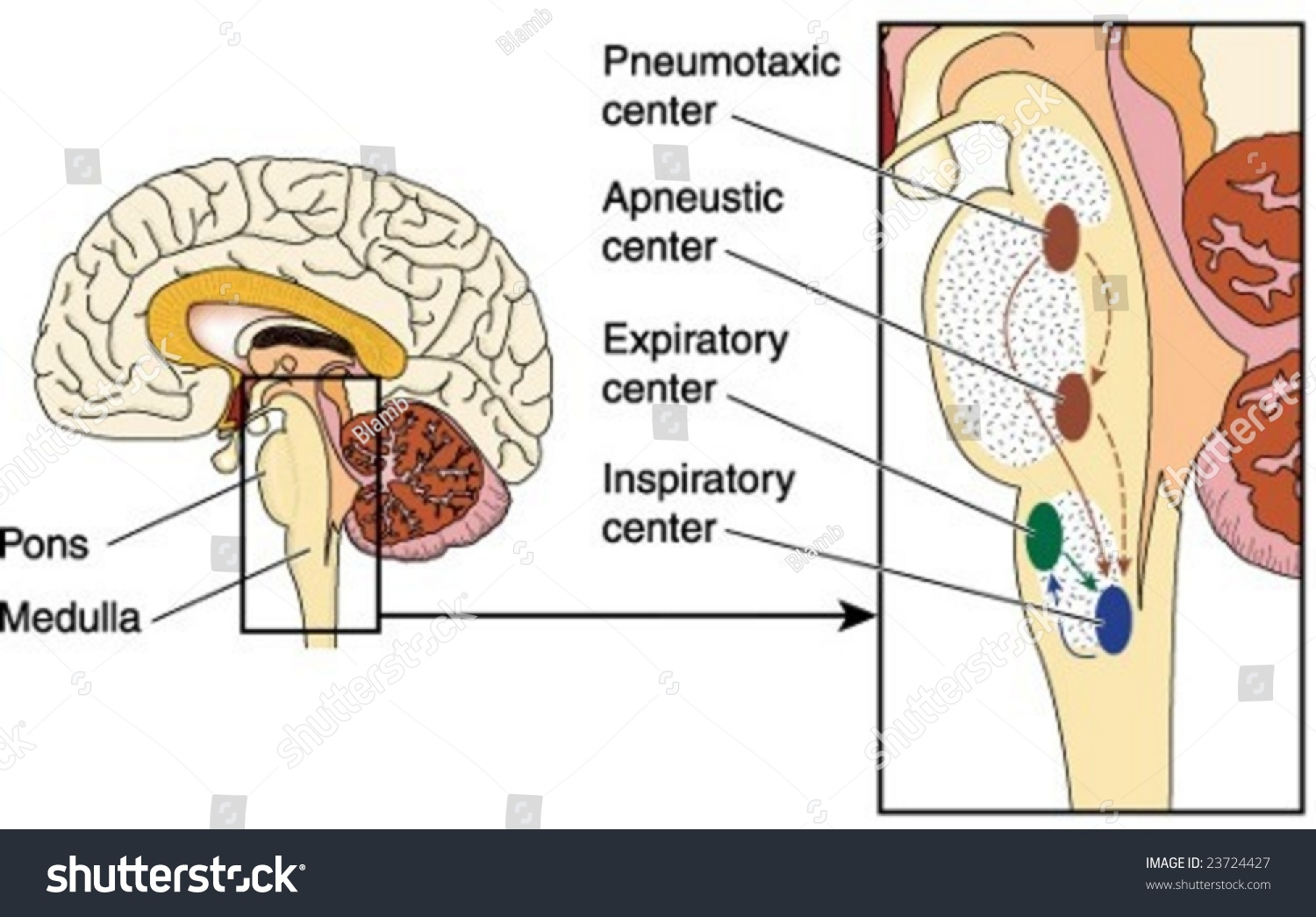 Respiratory System Pictures Pons