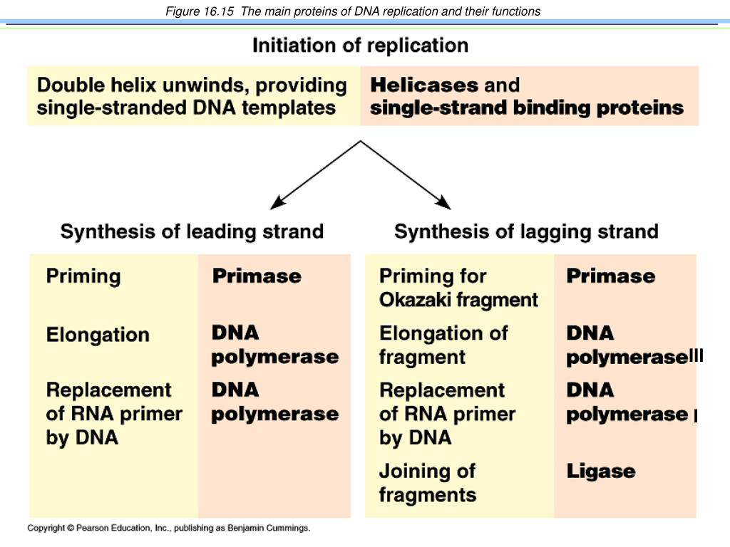 Replication Dna Proteins