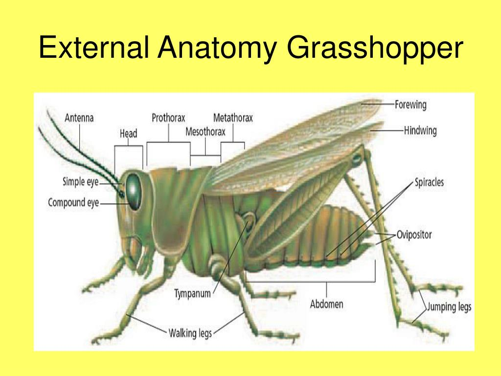 PPT - Chapter 36 Arthropods & Chapter 37 Insects ...
