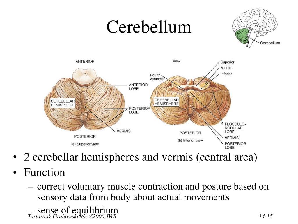 Medulla Reticular Activating System