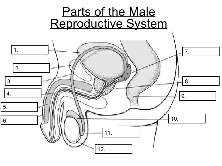 Human Blank Female Reproduction