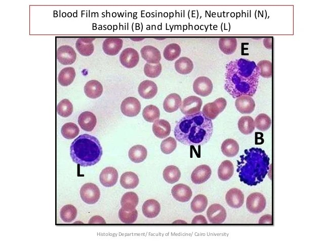 Neutrophils Department Lymphocytes Weber Smear Blood And