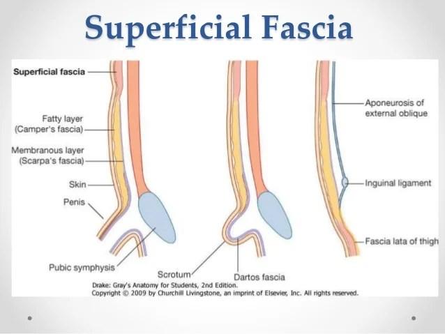 Abdominal Umbilical Hernia Anatomy