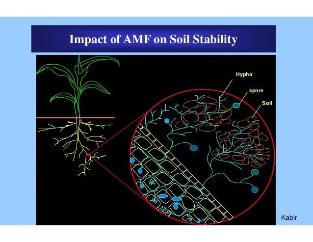 Arbuscular mycorrhizal fungi. Jill scott insomnia