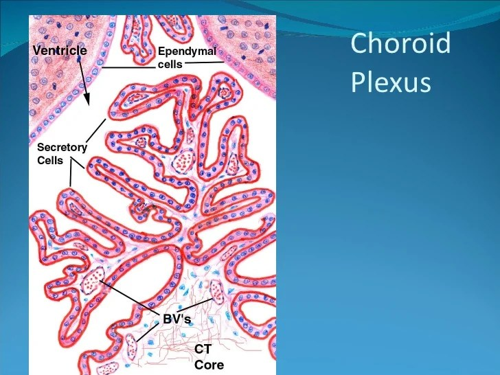 Plexus Cells Choroid Csf