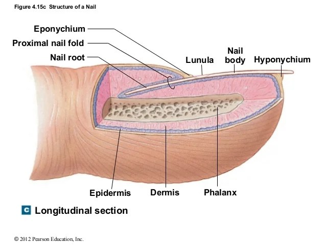 Nail Bed Blank Diagram
