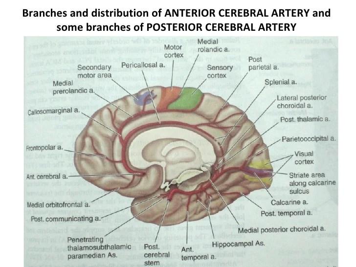 Anatomy Cerebral Artery Stroke