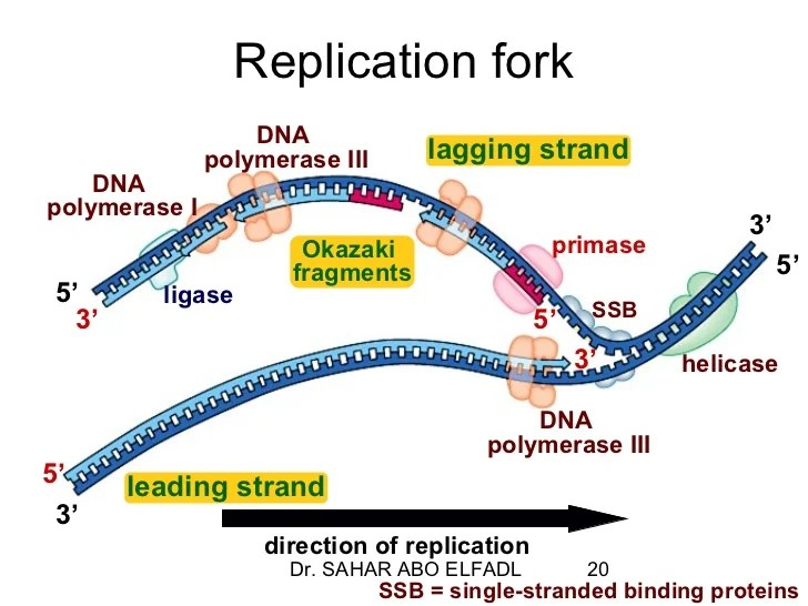 Dna Pol Iii Dna Replication Diagram Labeled