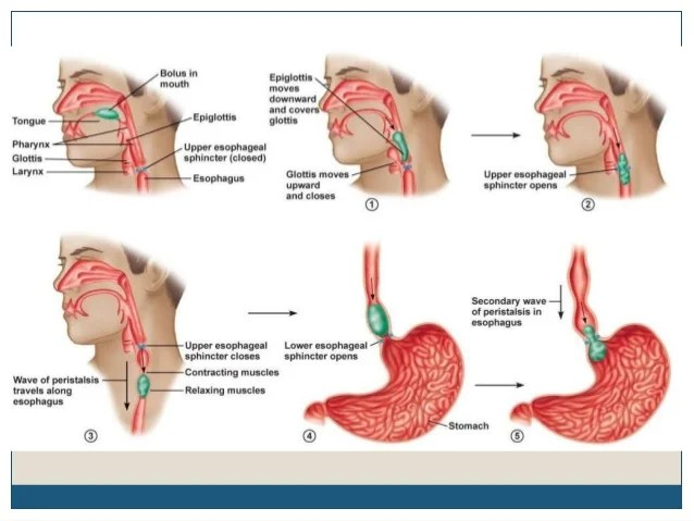 Pharyngeal And Laryngeal Diagram
