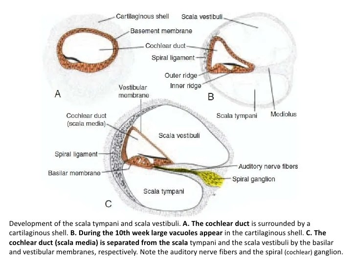 Corti Ear Cochlea And