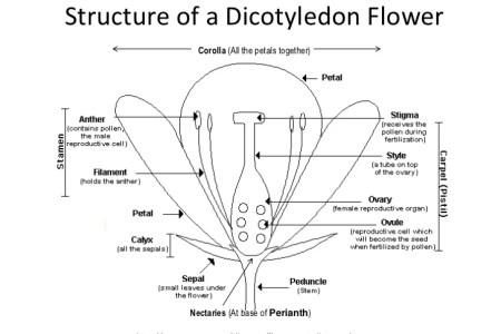 Structure of flower diagram flower shop near me flower shop parts of a plant diagram tutorvista parts of a plant diagram diagram of the parts of a flower hunker petals plant quiz anatomy of a flower proprofs quiz ccuart Choice Image