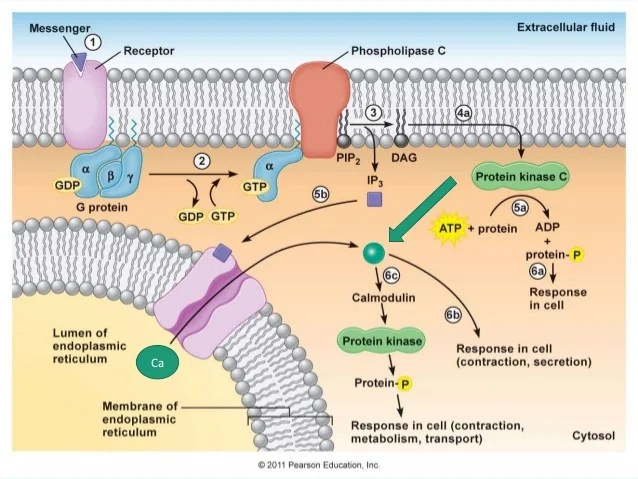 G Coupled Protein Receptor Pathway