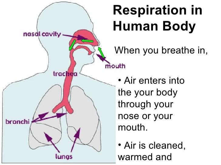 Diaphragm In Respiration