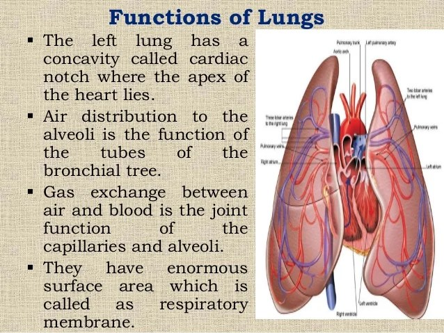 Capillaries Function In Respiratory System