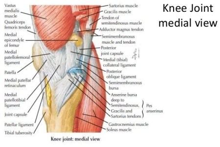 interior knee muscles » Electronic Wallpaper | Electronic Wallpaper
