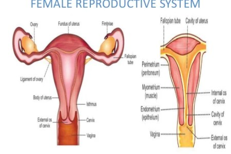 Male And Female Reproductive System Full Hd Pictures 4k Ultra